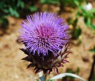 Γιγαντιαίο λουλούδι κάρδων Στοκ Εικόνες