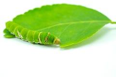 Γιγαντιαίο πράσινο σκουλήκι Στοκ εικόνες με δικαίωμα ελεύθερης χρήσης