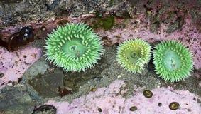 Γιγαντιαίο πράσινο Anemone (xanthogrammica Anthopleura) Στοκ Φωτογραφίες