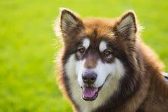 Γιγαντιαίο σκυλί της Αλάσκας στοκ εικόνες