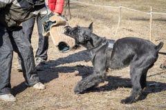 Γιγαντιαίο σκυλί Schnauzer στοκ εικόνες