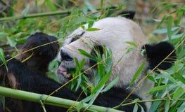 Γιγαντιαίο στενό επάνω πορτρέτο panda Στοκ εικόνα με δικαίωμα ελεύθερης χρήσης