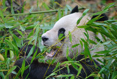 Γιγαντιαίο στενό επάνω πορτρέτο panda Στοκ εικόνες με δικαίωμα ελεύθερης χρήσης