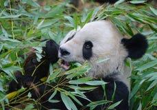 Γιγαντιαίο στενό επάνω πορτρέτο panda Στοκ φωτογραφία με δικαίωμα ελεύθερης χρήσης