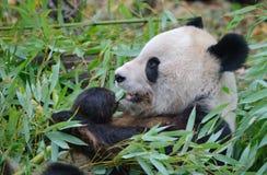 Γιγαντιαίο στενό επάνω πορτρέτο panda Στοκ Εικόνες