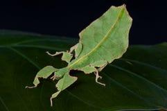 γιγαντιαίο φύλλο εντόμων Στοκ Εικόνα