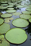 γιγαντιαίο ύδωρ κρίνων της Αμαζώνας Στοκ Φωτογραφία