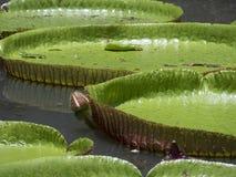 γιγαντιαίο ύδωρ κρίνων Στοκ φωτογραφία με δικαίωμα ελεύθερης χρήσης