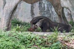Γιγαντιαίο Anteater ζωντανό στον ανοικτό ζωολογικό κήπο Στοκ Εικόνες