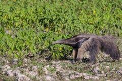 Γιγαντιαίο Anteater που σταματά για να ρουθουνίζει μεταξύ των μυρμηγκοφωλιών Στοκ Εικόνες