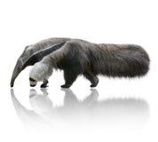 Γιγαντιαίο Anteater Στοκ εικόνες με δικαίωμα ελεύθερης χρήσης