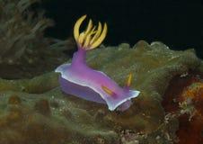 Γιγαντιαίο apolegma hypselodoris nudibranch στο κοράλλι του Μπαλί Στοκ φωτογραφία με δικαίωμα ελεύθερης χρήσης