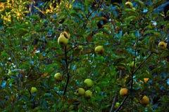Γιγαντιαίο Apple-δέντρο Στοκ Εικόνα