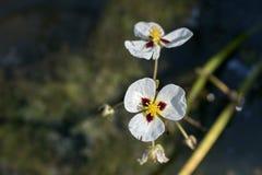 Γιγαντιαίο arrowhead λουλουδιών ή arrowhead Καλιφόρνιας Στοκ Φωτογραφίες