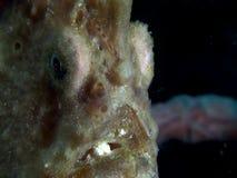 Γιγαντιαίο commersoni antennarius frogfish στο στενό Lembeh φιλμ μικρού μήκους