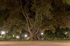 Γιγαντιαίο Ficus Macrophylla τη νύχτα, Plaza de Espana, Σεβίλη Στοκ Φωτογραφία