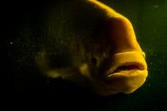 Γιγαντιαίο gourami με την έννοια μυστηρίου Στοκ εικόνες με δικαίωμα ελεύθερης χρήσης
