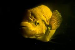 Γιγαντιαίο gourami με την έννοια μυστηρίου Στοκ Εικόνες