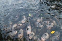 Γιγαντιαίο gourami στη λίμνη Στοκ Φωτογραφία