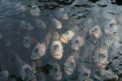Γιγαντιαίο gourami στη λίμνη Στοκ Εικόνες