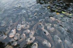 Γιγαντιαίο gourami στη λίμνη Στοκ εικόνες με δικαίωμα ελεύθερης χρήσης