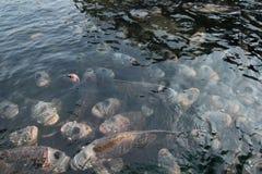 Γιγαντιαίο gourami στη λίμνη Στοκ φωτογραφία με δικαίωμα ελεύθερης χρήσης