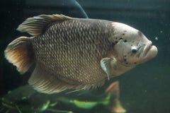 Γιγαντιαίο Gourami (Osphronemus goramy) Στοκ εικόνα με δικαίωμα ελεύθερης χρήσης