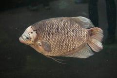 Γιγαντιαίο Gourami (Osphronemus goramy) Στοκ Φωτογραφίες