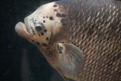 Γιγαντιαίο Gourami (Osphronemus goramy) Στοκ Εικόνα