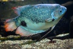 Γιγαντιαίο gourami Osphronemus goramy Στοκ Φωτογραφία