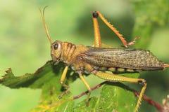 γιγαντιαίο grasshopper Στοκ Φωτογραφίες