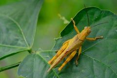 γιγαντιαίο grasshopper στοκ φωτογραφία