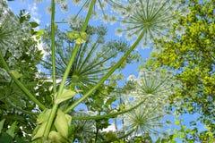 Γιγαντιαίο Hogweed (mantegazzianum Heracleum) Στοκ Εικόνα