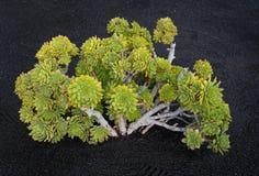 Γιγαντιαίο Houseleek Aeonium lancerottense Lanzarote Στοκ Εικόνα