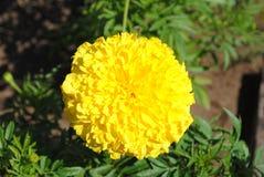γιγαντιαίο marigold Στοκ φωτογραφία με δικαίωμα ελεύθερης χρήσης