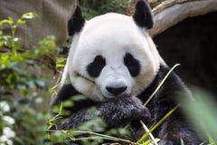 Γιγαντιαίο melanoleuca Ailuropoda panda που τρώει το ζωολογικό κήπο Σιγκαπούρη μπαμπού Στοκ Εικόνες