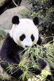 Γιγαντιαίο melanoleuca Ailuropoda panda που τρώει το ζωολογικό κήπο Σιγκαπούρη μπαμπού Στοκ Φωτογραφία