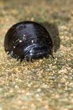 Γιγαντιαίο millipede χαπιών Στοκ εικόνες με δικαίωμα ελεύθερης χρήσης