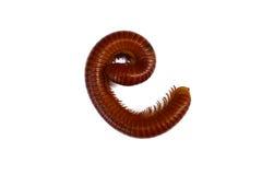 Γιγαντιαίο millipede Στοκ φωτογραφία με δικαίωμα ελεύθερης χρήσης