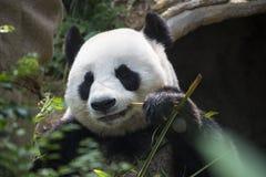 Γιγαντιαίο panda που τρώει το ζωολογικό κήπο Σιγκαπούρη μπαμπού Στοκ Φωτογραφία