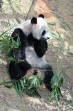Γιγαντιαίο panda σε έναν ζωολογικό κήπο της Σιγκαπούρης Στοκ εικόνα με δικαίωμα ελεύθερης χρήσης