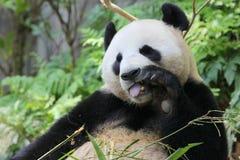 Γιγαντιαίο panda σε έναν ζωολογικό κήπο Στοκ εικόνες με δικαίωμα ελεύθερης χρήσης