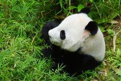 Γιγαντιαίο panda στο ζωολογικό κήπο της Σιγκαπούρης Στοκ Φωτογραφίες
