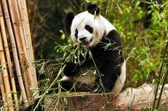 γιγαντιαίο panda Στοκ εικόνα με δικαίωμα ελεύθερης χρήσης