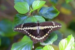 γιγαντιαίο papilio πεταλούδων Στοκ Εικόνες
