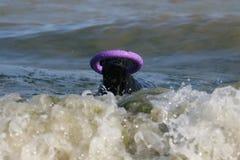 Γιγαντιαίο Schnauzer στη θάλασσα με τον εξολκέα στοκ φωτογραφία