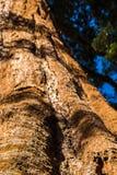 Γιγαντιαίο Sequoia δέντρο, γιγαντιαίο δάσος, Καλιφόρνια ΗΠΑ Στοκ Εικόνες
