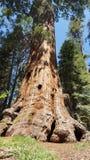 γιγαντιαίο sequoia δέντρο Στοκ φωτογραφία με δικαίωμα ελεύθερης χρήσης
