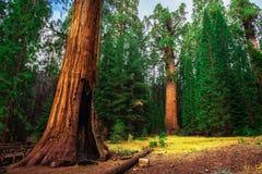 Γιγαντιαίο Sequoia δάσος σε Καλιφόρνια Στοκ εικόνα με δικαίωμα ελεύθερης χρήσης