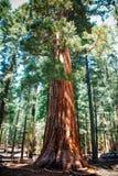 Γιγαντιαίο sequoia δάσος - τα μεγαλύτερα δέντρα στη γη στο NA Yosemite Στοκ εικόνα με δικαίωμα ελεύθερης χρήσης